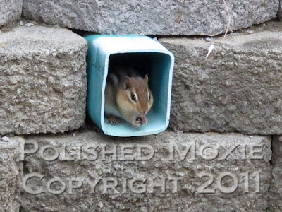 Picture of chipmunk eating in a drain pipe