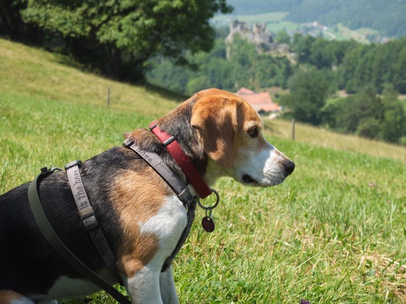 ein beagle auf wanderschaft jura h henweg 4 kr ftesparend von ifenthal nach balsthal. Black Bedroom Furniture Sets. Home Design Ideas