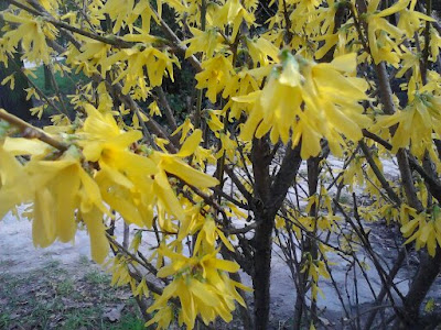yellow blossomed bush