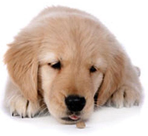 Why Does My Dog Vormit Dog Health
