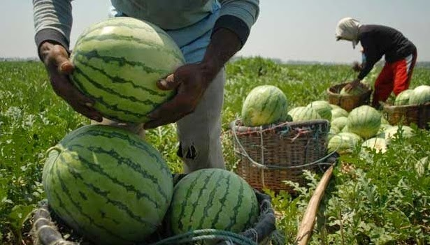 semangka super harganya lebih mahal