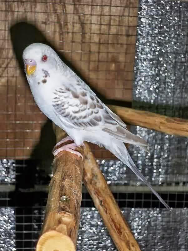 Dunia Burung Macam Macam Jenis Burung Parkit