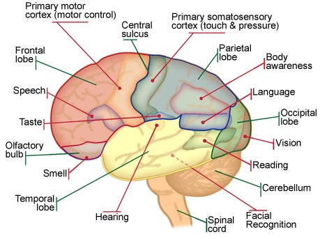 understanding the two sides of the human brain Like a bridge that spans a river to connect two major metropolises, the corpus  callosum  flowing between the left and right hemispheres of our brains  also  for understanding the function of the brains of people with autism.