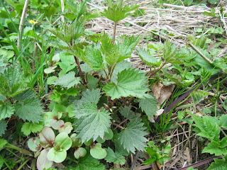 woodland nettle soup recipe