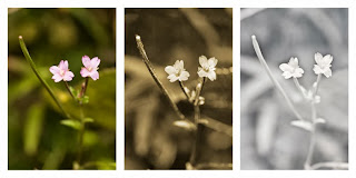 Epilobium palustre (Marsh willowherb) photographed in visible light (left), ultraviolet light (middle), and infrared light (right)