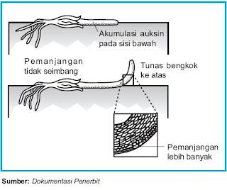 Peranan auksin pada perkembangan organ tumbuhan