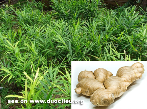 Zingiber officinale Willd. Rosc
