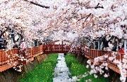 เทศกาลซากุระจินแฮ