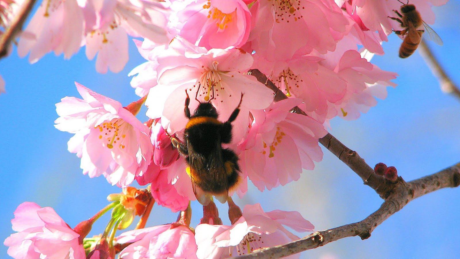 http://4.bp.blogspot.com/-HquzqiCR2HE/T1sxNRwhLWI/AAAAAAAAAUM/7cnh39uSk-I/s1600/Bees_in_the_Cherry_Tree_1920x1080-HDTV-1080p.jpg
