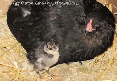 Black Copper Marans chick, Black Ameraucana hen