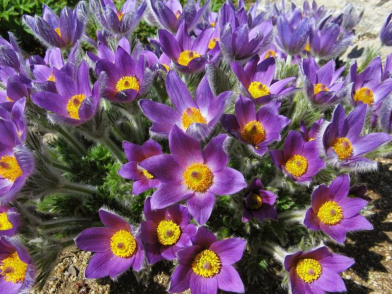 fioritura - CC licence Ondablv flickr