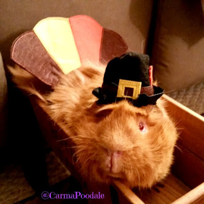 Cinnamon the guinea pig dressed as a turkey looking at the camera