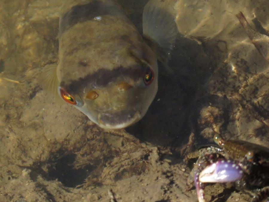 toad fish hunting a crab - Sphaeroides pleurostictus