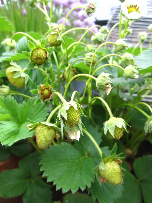 Unripe Strawberries 66 Square Feet ...