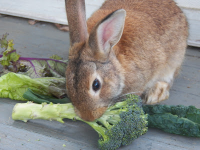 Rabbit eating broccoli with a backdrop of kale and lettuce