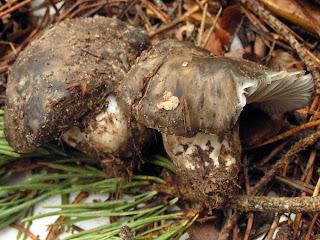 Agaricus marzuolus - Marzuelo, seta de marzo