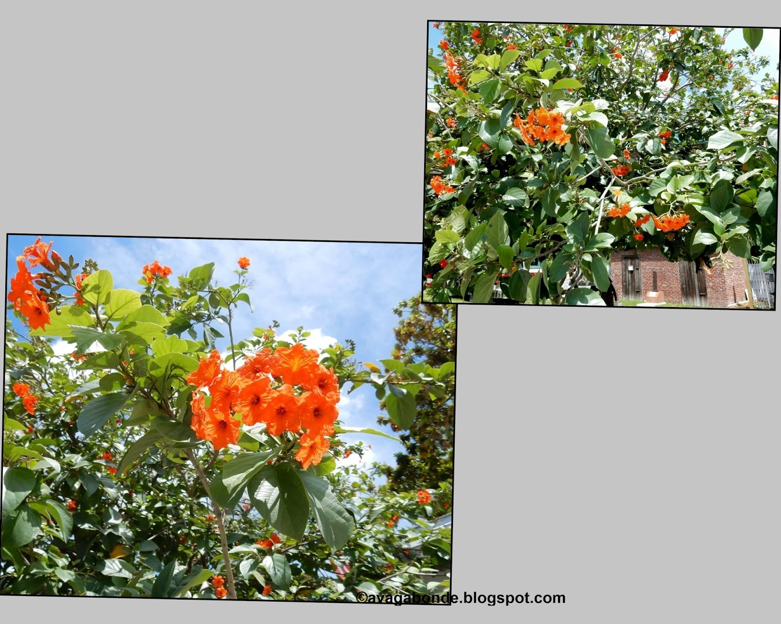 Recollections Of A Vagabonde Flowers In Key West Florida And At Home