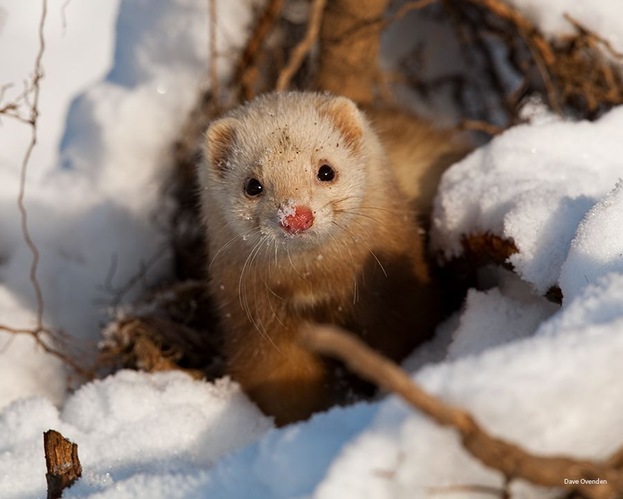 5. Ferret by Dave Ovenden