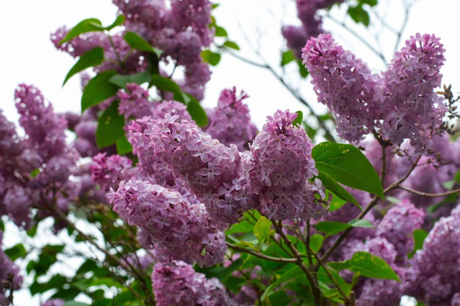 The lilacs are in bloom! A sure sign that spring is heading into summer!