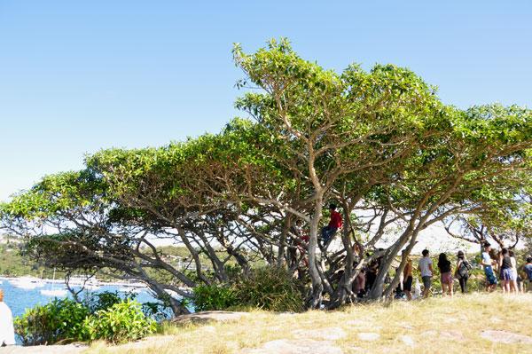 balmoral beach trees