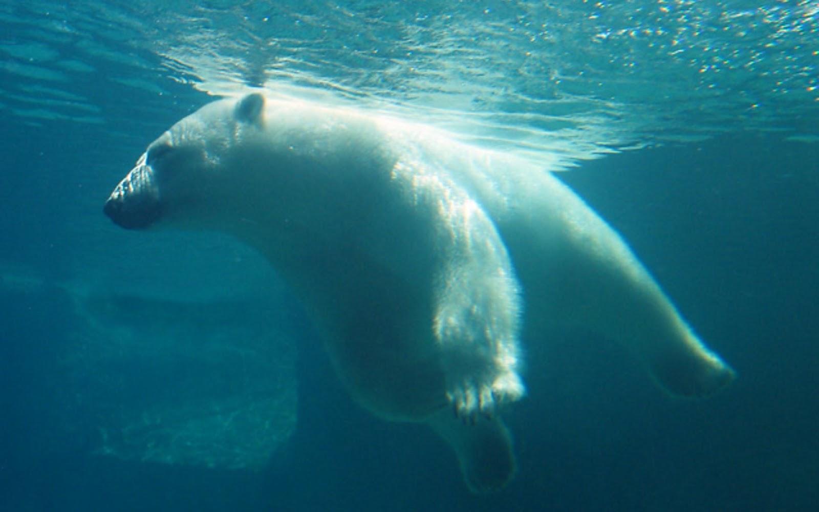 http://4.bp.blogspot.com/-Hun23qISjWA/UXsC32bgomI/AAAAAAAAA1c/v3VhPLj9yUU/s1600/Funny-Animals-Polar-Bear-Underwater-Full-HD-Wallpaper.jpg