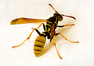 picture of wasp
