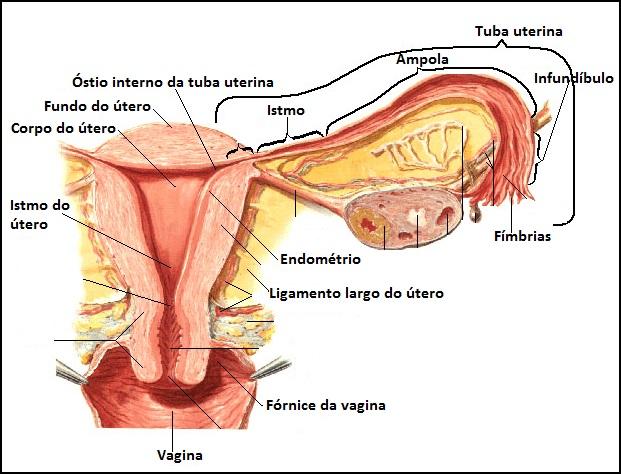 Atlas de Anatomia Humano : Sistema Genital