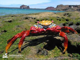 kepiting Galapagos