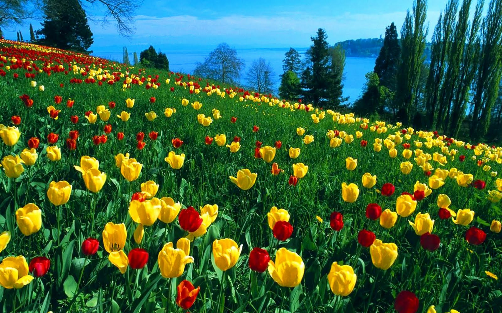 Beautiful Tulip Flowers In The World