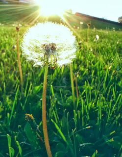 Bồ công anh và nắng gió - Long lanh mặt trời soi xuống cây