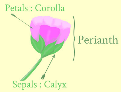 diagram of perianth