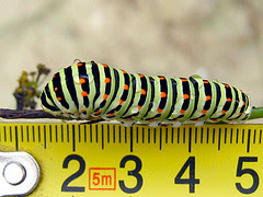 The Swallowtail Caterpillar