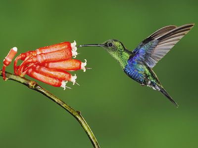 Beautiful Hummingbird Bird Wallpaper
