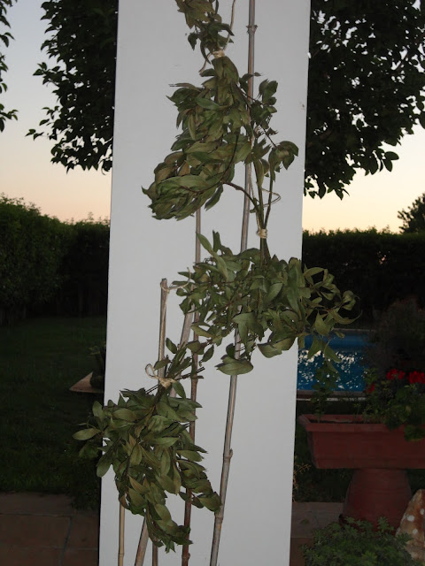 RAMOS DE LAUREL COLGADOS PARA SECAR SUS HOJAS.LAUREL (Laurus nobilis).
