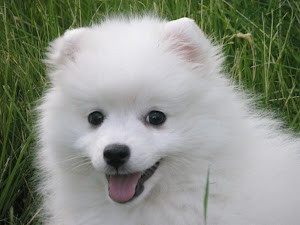 about dog japanese spitz is your japanese spitz potty