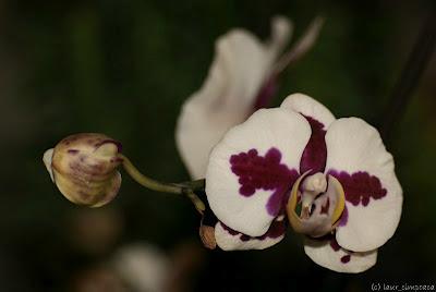 Orhidee Orchidaceae Orchideen Orquídeas Kosborfélék Ορχιδέα