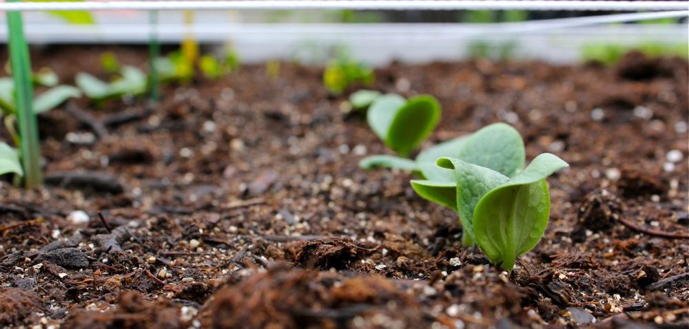 Когда сажают тыкву в открытый грунт семенами 90