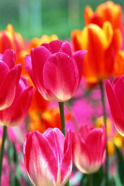 Nama Latin Bunga Tulip