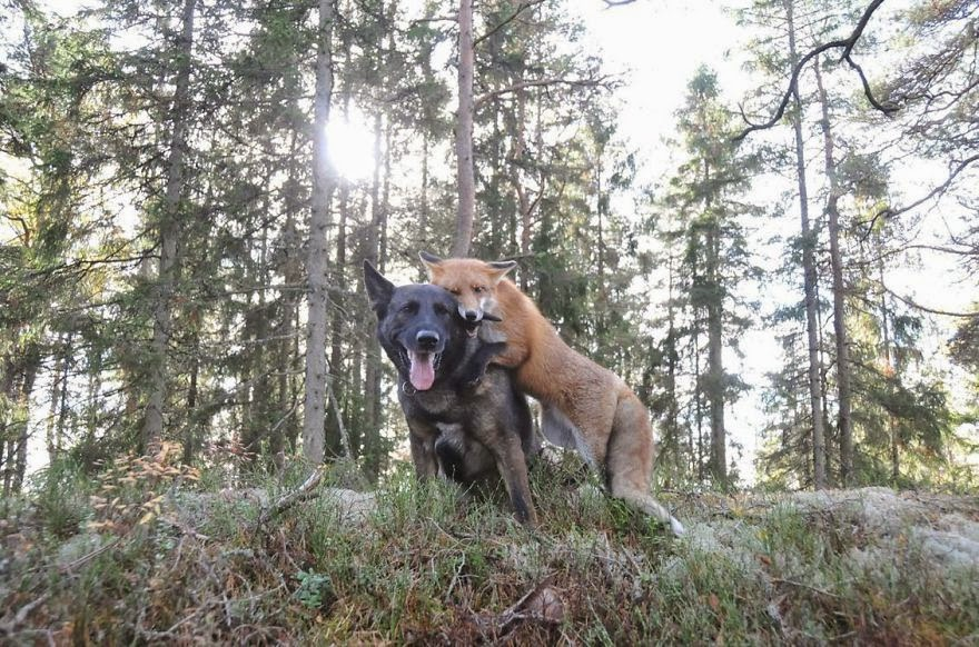 #1 Tinni The Dog And Sniffer The Wild Fox - Unusual Animal Friendships That Are Absolutely Adorable!