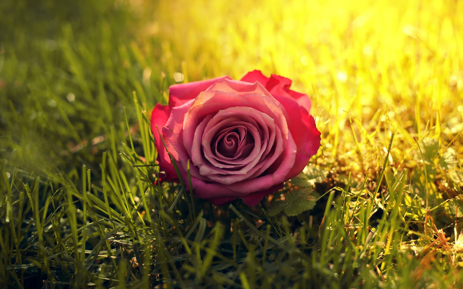Imagenes De Flores De Rosas - Imágenes de Rosas de Amor Imágenes de Amor