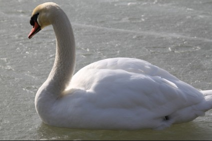 Holy Bird Swan Importance in Spirituality