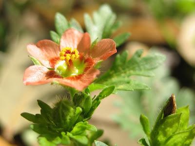 unidentified wildflower:  Audubon Park, NOLA