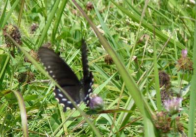 Appalachian swallowtail