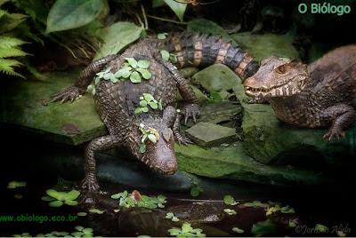 jacare-crocodilo-biologia