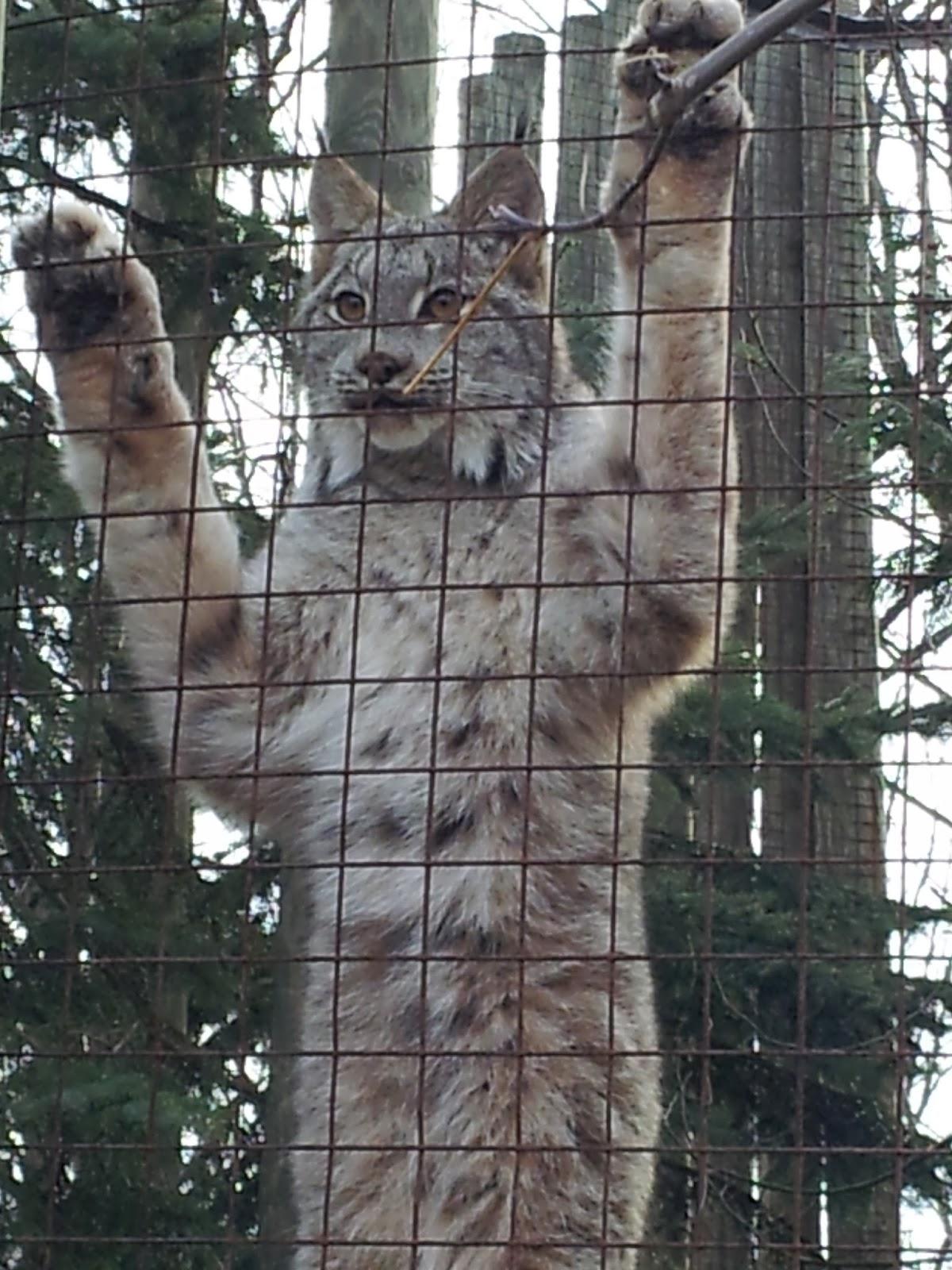 lynx, zoo, Toronto Zoo, animals