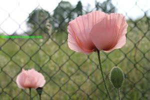 Clicca l'immagine per Passione papavero