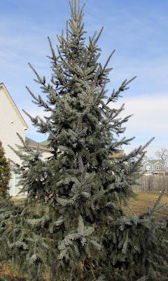 Blue Serbian spruce