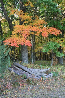photo of maple tree in Autumn
