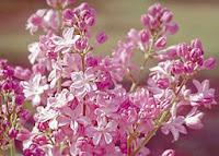 Lindsay Lilac gardens Pink lilacs image