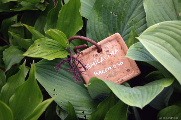 aliciasivert, Alicia Sivertsson, France, Normandy, Les Jardins d'Angelique, garden, gardens, flowers, Frankrike, Normandie, trädgårdar, trädgård, blommor, smilacina, racemosa